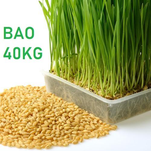 Hạt giống cỏ lúa mì  bao 40kg
