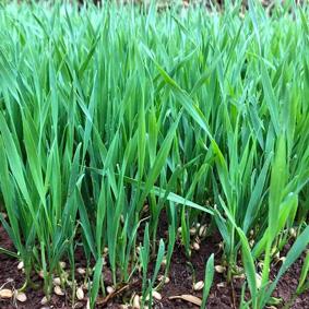 Cỏ lúa mì tươi Viet Healthy 1 kg